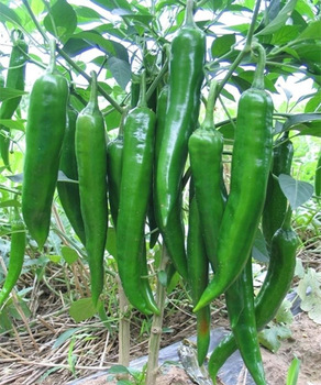 Green chili seeds (100 seeds)
