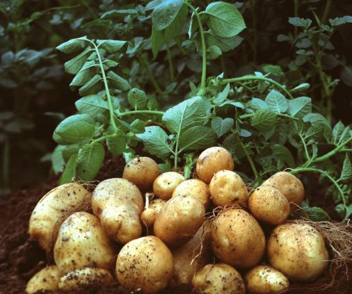 Fresh irish potatoes (100Kg)