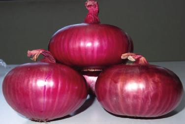 Fresh Early Red Max onions produce (100Kg)