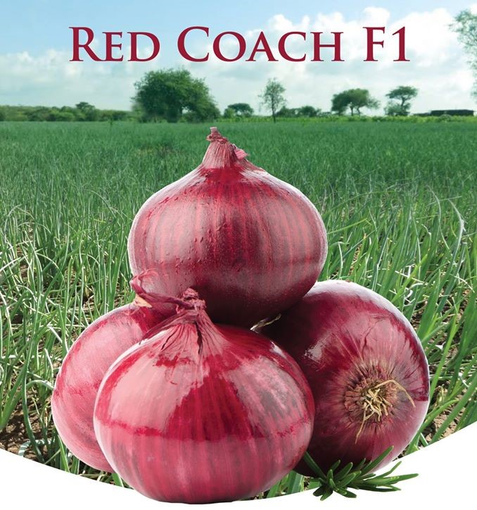 Red Coach F1 onion seeds (400gm)